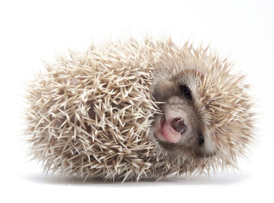 Housing 171 African Pygmy Hedgehog Hello Hedgehog