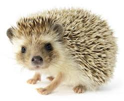 Hedgehog (12)